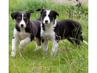 Border Collie pups/puppies Black/White/Tan & Red/White