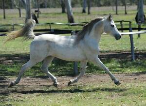 GREY ARABIAN COLT for gelding and breaking to saddle Yamanto Ipswich City Preview