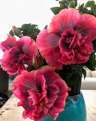 10 Double Purple Pink Hibiscus Seeds Hardy Perennial Flower Garden Exotic Seed (Pink Hibiscus)