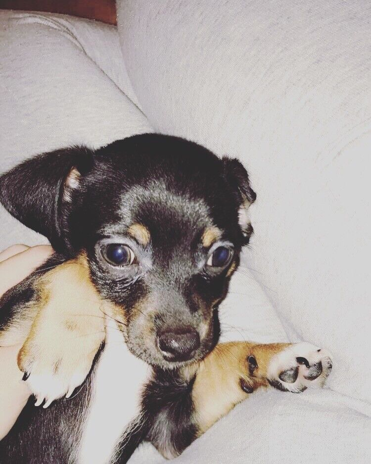 Chihuahua Cross puppy For Sale £300