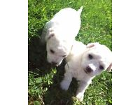 Bichon Frise Pups for Sale