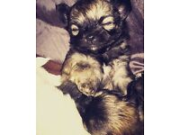 Beautiful chihuahua puppies for sale 🐾