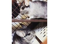 Two male 11month old chinchillas + cage & extras