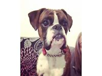 Boxer needs a forever home.