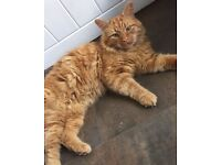Found ginger male cat, Epping green Essex