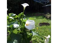 White Lily (Calla Lily, Zantedeschia) Flowers For Sale - In Bloom Now Only 3 Left!