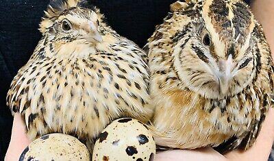 12 Jumbo Pharaoh Coturnix Quail Hatching Eggs