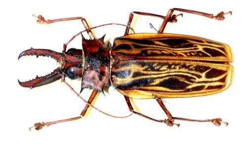 Macrodontia cervicornis....male....Peru....BIG SIZE!....VERY RARE!
