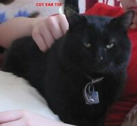 BLACK CAT - STILL MISSING - REWARD (alive / deceased)