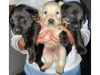 Black and Golden Labrador pups
