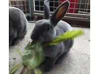 Mini Rex rabbit sisters for sale