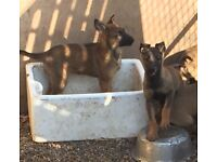Belgium shepherd puppies for sale