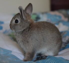 Very Sweet Netherland Dwarf bunnies for sale- 2 Girls