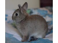 Very Sweet Netherland Dwarf bunnies for sale- 2 Girls
