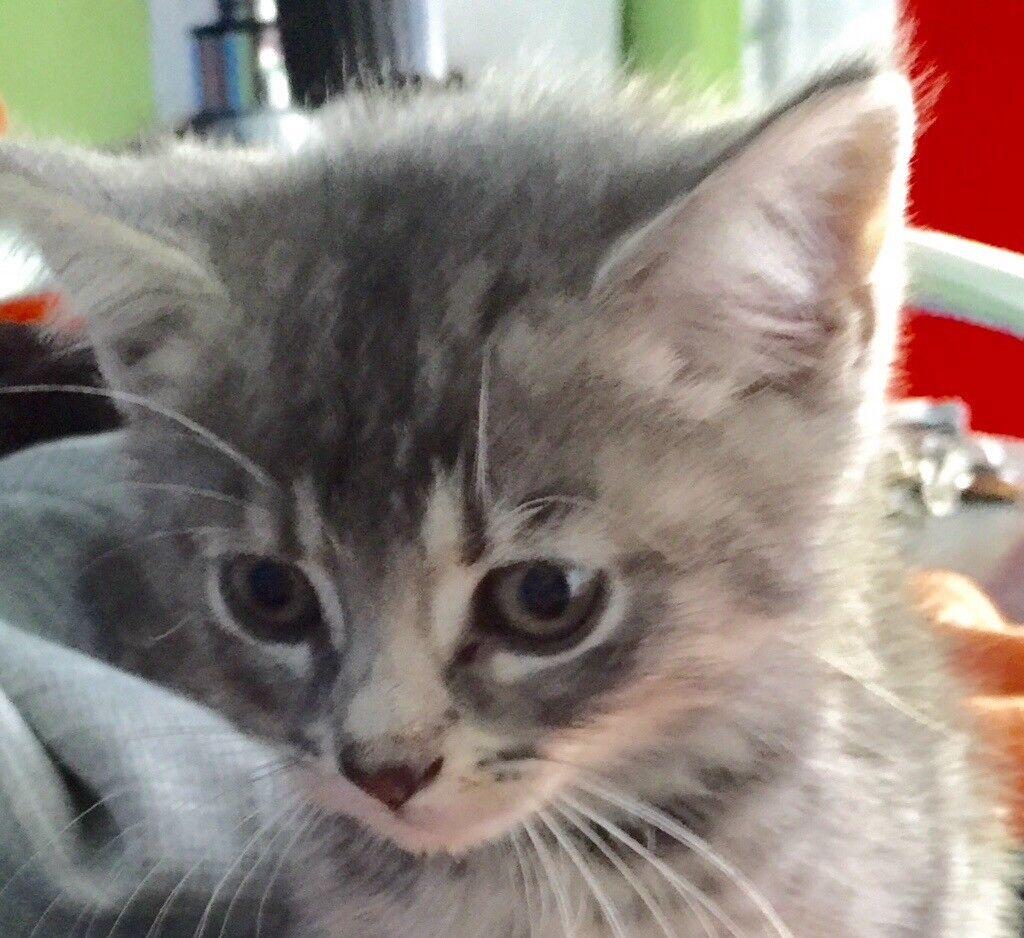 Beautiful Russian blue cross kittens 8 weeks