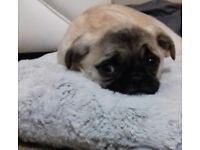 Female puggle puppie for sale, 6 & half month old, v-child friendly needs a new home