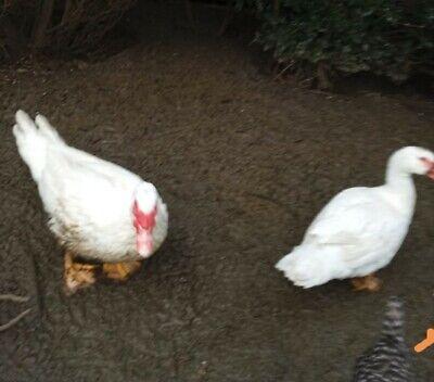 Flugenten 10  Eier Bruteier