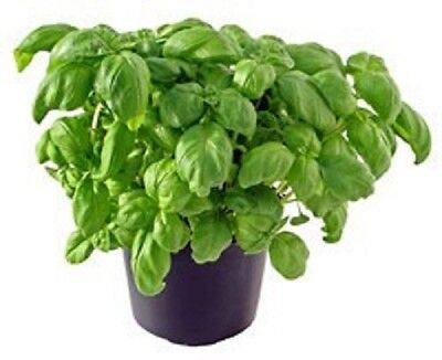 Heirloom Herbs GENOVESE BASIL❋1000 SEEDS❋Best for Pesto❋Culinary❋Medicinal
