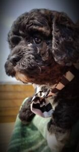 Cavapoochons - ONLY 3 LEFT! Miniature Poodle X; Hypoallergenic