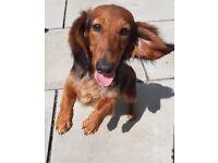Mini dachshund long hair 6 month boy