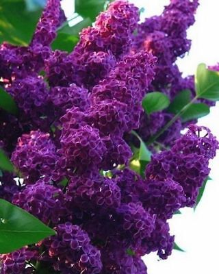 25 Dark Purple Lilac Seeds Tree Fragrant Hardy Perennial Flower Shrub Garden