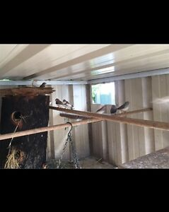 ZEBRA FINCHES. NEED GONE ASAP! Cumberland Reach Hawkesbury Area Preview