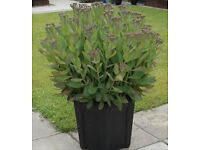Huge - Sedum Butterfly Plant in 43L Planter - £30 - Glenrothes