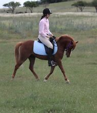 """""""Dickens"""" 12.2 H 3YO Welsh Riding Pony Bungendore Queanbeyan Area Preview"""
