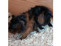 Gorgeous baby boy guineapigs