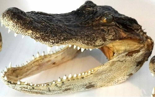Gator Head 11 Inch Real Alligator Head Authentic Cajun Crocodile Sharp Florida