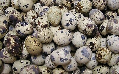 24 Jumbo Brown Coturnix Quail Hatching Eggs