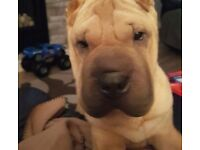 Male sharpei 10 months old