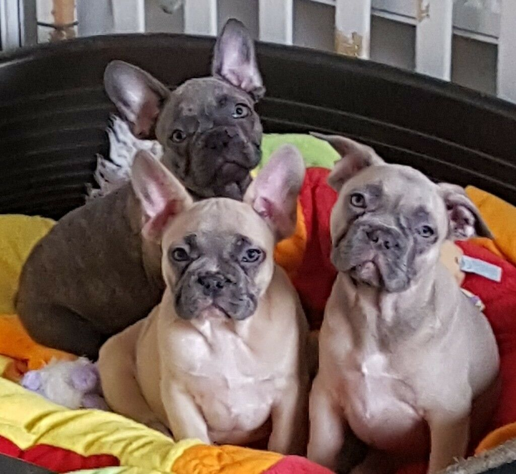 AVAILABLE NOW KC registered french bullgog puppies