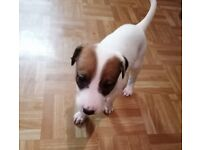 *READY TO GO* 9 Beautiful Lurcher Puppies For Sale (8 Weeks Old)