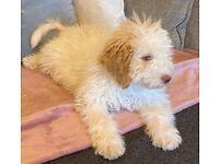 Rare 5 month old Orange Roan Lagotto Romangnolo puppy