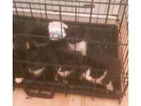 I have 4 tuxedo kittens for sale