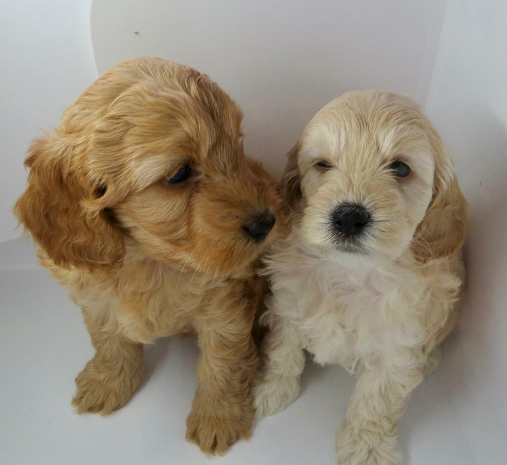 F1b cockapoo puppies Champagne girl only | in Sittingbourne, Kent | Gumtree