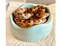 7 month Corn Snakes
