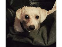 Beautiful Bichon Frise Female Puppy