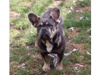 Blue and tan french bulldog boy