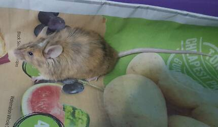 2 Friendly mice in need of new home