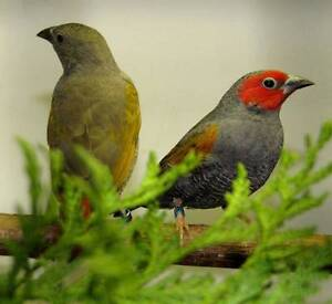 Yellow Winged Pytilia Finch (Pytilia hypogrammica) Pair Epping Ryde Area Preview