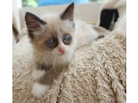 Gorgeous Ragdolls (Ready Now)