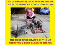 BEST BRED BLUE STAFFORDSHIRE BULL TERRIER PUPPIES IN THE UK KC PROVEN