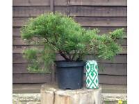 Small Sabina juniper for Shohin bonsai Raw material