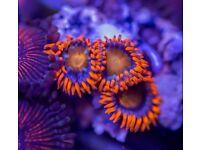 Marine Aquarium Corals & Coral Frags