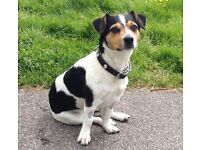 Jack Russell Stolen from soho square more info f/b helpfindnimbus