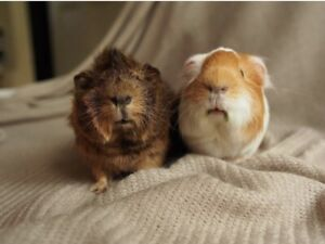 2 Males Guinea Pigs for Rehoming