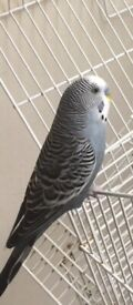 LOST Blue Budgie Hounslow Area