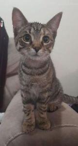 "Baby Female Cat - Domestic Short Hair: ""Peach"""
